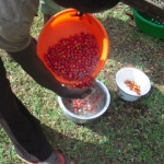 Washing Coffee Cherries, Danali Roasters